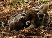 Portrait Of The Ring-tailed Lemur Family Lemur Catta Aka King Julien In Lemirs Park At Arivonimamo,  poster