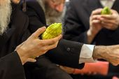 Jewish autumn holiday Sukkot - Feast of Tabernacles. Religious Jew with a gray beard chooses etrog f poster