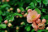 stock photo of cameos  - Peach Colored Cameo Flowering Quince in spring garden - JPG