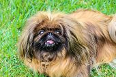 Beautiful Brown Long-haired Pekingese Dog, Adult Female. Also Known As Pekinese, Beijing Lion Dog Or poster