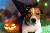 Happy Halloween. Dog Pet Jack Russell Terrier In Costume And On The Background Of Pumpkins Smoke Lan poster