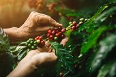 [coffee Berries] Close-up Arabica Coffee Berries With Agriculturist Hands poster