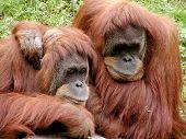 Orangutan Thinkers
