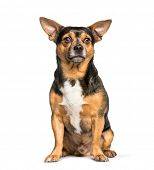 Mixed-breed dog with chihuahua sitting against white background poster