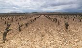 Wineyard In La Rioja, Spain