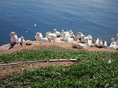 Breeding Sea Birds On The Island Of Helgoland