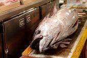 frischen großen Thunfisch in Tsukiji Tokio großer Markt, japan
