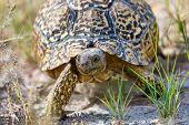Turtle Leopard Tortoise In Nature Habitat, North Part Of South Africa, Safari Wildlife poster