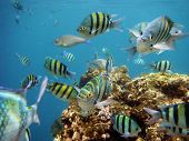 stock photo of sergeant major  - School of tropical sergeant major fish red sea in Sharm El Sheikh