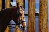 Cropped Shot Of A Horse, Wooden Fence Background. Stallion, Close Up. Chestnut Stallion, Outdoors. poster