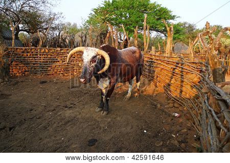 poster of African Nguni bull at the Great Kraal in Zululand, South Africa.