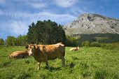 stock photo of basque country  - Cows grazing Abadino Bizkaia Basque Country Spain - JPG