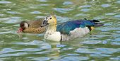picture of crested duck  - Male comb duck floating next to a female red crested pochard duck - JPG