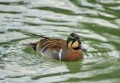 Baikal Teal (anas Formosa), Also Called The Bimaculate Duck Or Squawk Duck