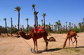 Morocco, Marrakech: Palm Trees And Camel