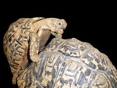 Mating male tortoise
