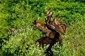 Bull Moose Feeding On Leaves