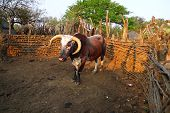 image of zulu  - African Nguni bull at the Great Kraal in Zululand - JPG