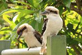 image of kookaburra  - Two kookaburras sitting on post in suburban Sydney garden - JPG