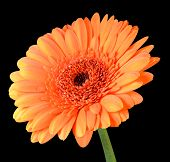 Orange Gerbera Flower With Green Stem Isolated On Black