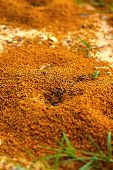picture of fire ant  - Ants nest with green grass - JPG