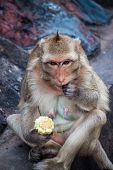 Monkey eats a corn