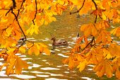 stock photo of duck pond  - Ducks swimming across the pond in autumnal park - JPG