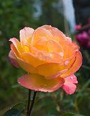 Beuatiful Rose