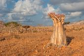picture of desert-rose  - Desert rose tree at Socotra Island Yemen - JPG