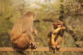 Rhesus Macaques Sitting On A Fence, New Delhi