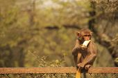Young Rhesus Macaque Eating Banana, New Delhi