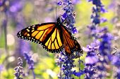 stock photo of monarch  - Close - JPG