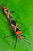 foto of stinky  - two stinky bug mating on green leaf