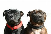Staffordshire Terriers
