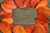 picture of chokeberry  - Red autumn chokeberry leaves over wooden background - JPG