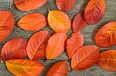 stock photo of chokeberry  - Red autumn chokeberry leaves over wooden background - JPG