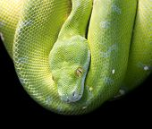 picture of green snake  - Green Tree Python - JPG