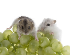 picture of laughable  - Two cute Djungarian hamster on white background - JPG