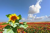 The huge picturesque sunflower grows in a field among multi-colored blossoming buttercups