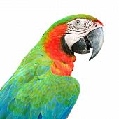 image of harlequin  - Colorful Harlequin Macaw aviary, back profile, isolated on a white background