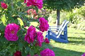 stock photo of climbing roses  - Climbing roses with lawn chairs fading off in the background - JPG