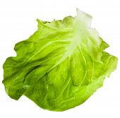 One Single Lettuce Salad Leaf Close up Isolated On White Background