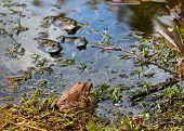 Love Of Frogs In Pond In Spring