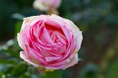Single Big Pink Rose Isolated On Garden Background