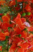 Royal Poinciana Cropped poster