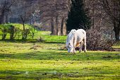 image of horses eating  - Eating white horse on green grass in CZ - JPG