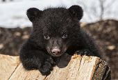 foto of bear cub  - American black bear cub climbing on a wood pile - JPG