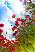Red poppy flowers and sky