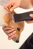 Hairdresser mows Jack Russell Terrier fur