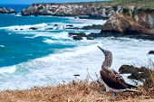 foto of blue footed booby  - Blue - JPG